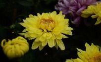 鹅黄美丽黄秋菊