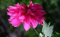 娇美的大丽菊
