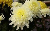 两朵淡雅白菊花