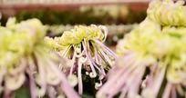 美丽淡雅紫菊花