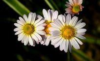 漂亮的白色小菊花