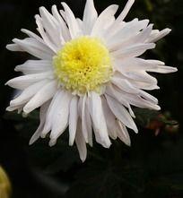 盛放的白菊花
