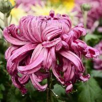 神圣脱俗的紫红菊花