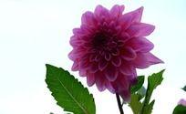 挺拔的大丽菊