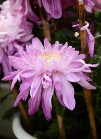 婉约秀丽的紫菊花
