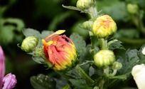 雨中的桔红菊花花苞