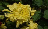 饱满的黄菊花