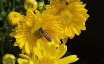 黄菊花和蜜蜂