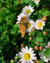 白色菊花上的黄色蝴蝶