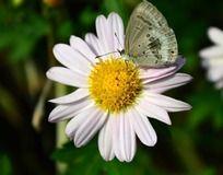 白色菊花上的蝴蝶