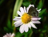 白色菊花上的可爱蝴蝶