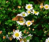 白色菊花上的漂亮蝴蝶