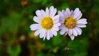 靠在一起的白色小菊花
