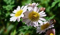 美丽的白色菊花