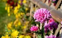 盛开的粉色小菊花