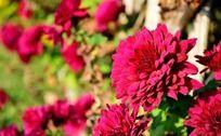 盛开的枚红色小菊花