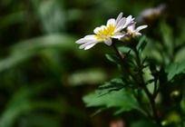 小巧的白色菊花
