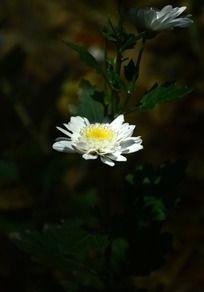 小巧可爱的白色菊花