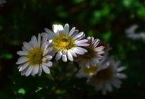 小巧漂亮的白色菊花