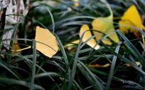 草丛中的银杏叶