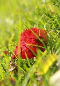 草丛中的一片红叶
