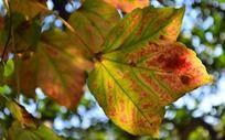 红绿色叶子