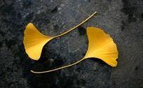 金色银杏树叶