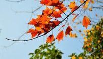 树枝上的橘红色叶子