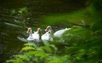 浮游在水中的白鹅