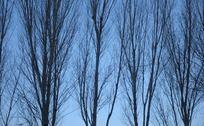 北方萧条的树林