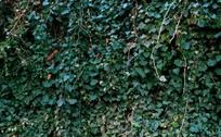 藤蔓植物爬墙虎