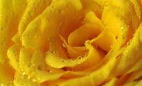 黄玫瑰背景
