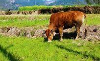 草地上吃草的黄牛