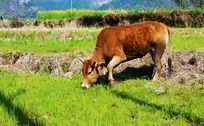 吃草的黄牛
