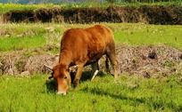 田里吃草的黄牛