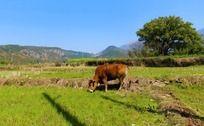 田野中的牛