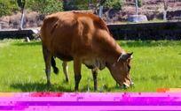 一头黄牛吃草