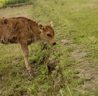 吃草的小牛