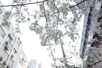 天空下白色樱花
