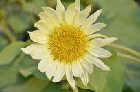 淡黄色向日葵