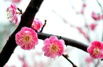 粉色梅花开放