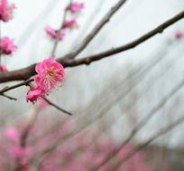 粉色梅花盛开