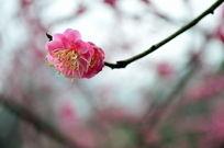 娇艳的粉色梅花