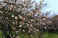 开满梅花的树枝