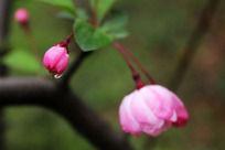 桃花上的水珠