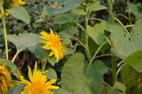向日葵花丛