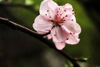 绽放的粉色桃花
