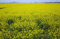 黄色油菜花海