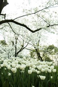樱花树下的白色郁金香
