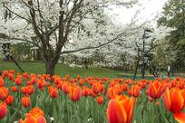 白色樱花下的郁金香